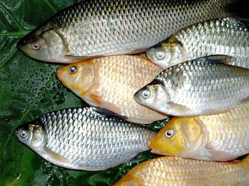 Lợi ích từ mọi món ăn từ cá diếc đối với sức khỏe